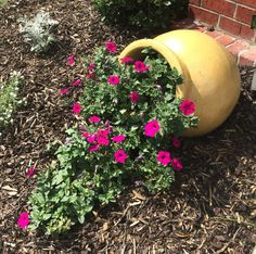 My pink wave petunia flowers in spill planter pot. Looks so cute at my entrance. I have one on both sides. Gets so many compliments. The pots are about 15.00 at home depot. Quite large too.