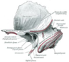 The Temporal Bone - Human Anatomy