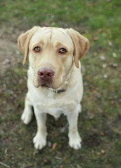The Labrador Retriever, also known as simply Labrador or Lab, is one of several kinds of retrievers, a type of gun dog.