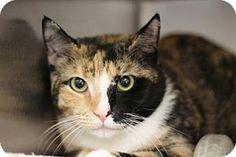 Philadelphia, PA - Domestic Shorthair. Meet Flor, a cat for adoption. http://www.adoptapet.com/pet/17993900-philadelphia-pennsylvania-cat