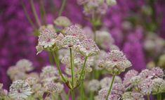 Astrantia Plants, Grass, Shrubs, Flowers, Trillium, Seeds, Astrantia, Clematis