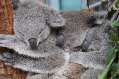 Three's a crowd – unless you're a Koala joey at Taronga Zoo!  See more photos of the tree-dwelling trio at ZooBorns.com and at http://www.zooborns.com/zooborns/2014/06/threes-not-a-crowd-for-koala-joeys.html