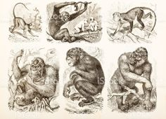 Engraving different apes old world monkeys 1882 royalty-free stock vector art