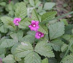 Mesimarja eli maamuurain (Rubus arcticus) Growing Raspberries, Clay Soil, Bramble, Native Plants, Fungi, Arctic, Perennials, Raspberry, Flora