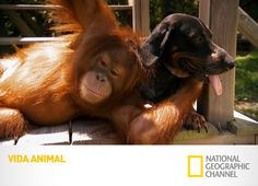 Unlikely Animal Friends: The Orangutan and the Hound Published Oct. 2011 When Surya the orangutan meets a hound dog by the river, the two carry on like long lost friends. Bizarre Animals, Unusual Animals, Funny Animals, Cute Animals, Baby Animals, Unusual Animal Friendships, Unlikely Animal Friends, Odd Animal Couples, Odd Couples