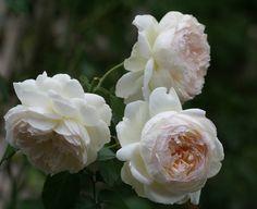 "My favorite rose ""Bolero"""