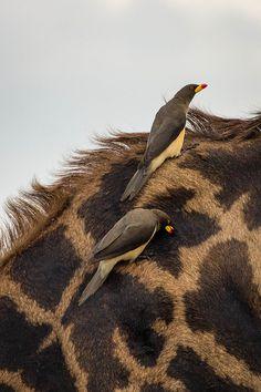"Africa | ""Yellow Beaked Oxpeckers"". Masai Mara, Kenya | ©Greg McMulin"