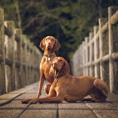 Sisters from different litters- this was the first sunny weekend in months so mom packed up our guest and drove out for some morning light. Over time I've been teaching my little sister the art of posing I think she's getting there #vizslagram #subjectlight #dogsofcanada #littlethingswhistler