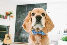 DIY Doggie Bow Tie tutorial from @lil_white_whale