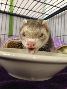 The pinnacle of ferret yummy food face