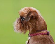 Гриффон собака (фото): очаровательные непоседы  Смотри больше http://kot-pes.com/griffon-sobaka-ocharovatelnie-neposedi/