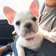 Beautiful Zoe, the French Bulldog Puppy,  @zoefrenchie_