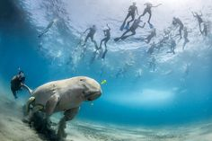 Credit: Douglas Seifert /2013 WPY Commended:  Douglas Seifert, US: A dugong feeding in the bay of Marsa Alam, Egypt, while snorkellers flock to see it. Only seven dugongs are known to live along the 100km coastline