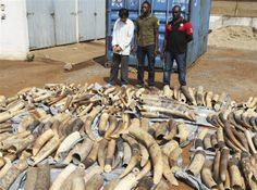 Togo seizes tusks of 500 dead elephants hidden in cargo bound for Vietnam - World News