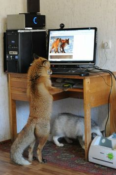 Funny pictures about You Dirty Little Fox. Oh, and cool pics about You Dirty Little Fox. Also, You Dirty Little Fox photos. Unusual Animals, Rare Animals, Animals Beautiful, Animals And Pets, Funny Animals, Unusual Pets, Wolf Hybrid, Fennec, Pet Fox