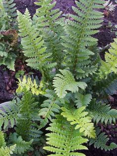 Polystichum aculeatum AGM, to 45cm, dry partial to full shade, native fern, EG