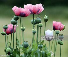 - / Turkish Blue Poppy Seeds USDA organic Papaver somniferum L My Flower, Flower Art, Wild Flowers, Beautiful Flowers, Poppy Flowers, Colorful Flowers, Poppy Photo, Flower Garden Plans, Blue Poppy