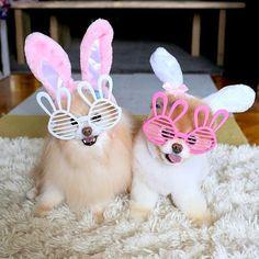 boo et buddy deux chiens mignons peluches vivantes 22   Boo et Buddy   web star spitz pomeranien photo peluche nain loulou de Pomeranie imag...