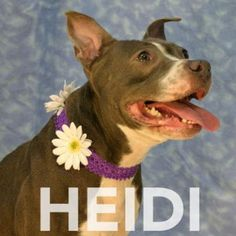 Heidi is a 3 yr old female terrier/pit bull mix at Rochester Animal Services looking for a home. Come visit her at 184 Verona St downtown ROC.