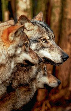 Wolves #wolf #wolves #animals