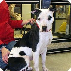 Washburn, MO - Pit Bull Terrier Mix. Meet Prairie Rose, a dog for adoption. http://www.adoptapet.com/pet/10993444-washburn-missouri-pit-bull-terrier-mix