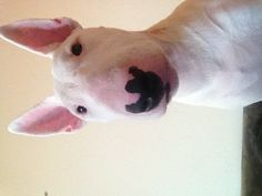 English Bull Terrier - Letty