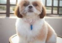 Shih Tzu Frisuren Fresh 82 Best Shih Tzu Grooming Hairstyles Images In 2019 Shih Tzu, Hair Images, Cool Pictures, Hairstyles, Fresh, Haircuts With Bangs, Medium Length Hairs, Hairdos, Hair Styles