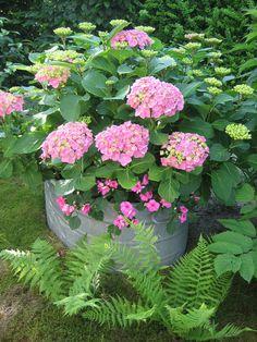 Hortensien Plants, Limelight Hydrangea, Garten, Pictures, Flora, Plant, Planting