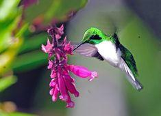 Black-eared Fairy, Heliothryx auritus: S.Amer, por Luiz Ribenboim   Wiki Aves - A Enciclopédia das Aves do Brasil