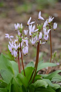 dodecatheon-meadia-midland-shooting-star 10-20 inches Blooms April-June - plant in at least groups of three