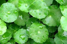 plantas by ticotic Australian Tea Tree, Gotu Kola, Centella, Medicinal Herbs, Acne Prone Skin, Tea Tree Oil, Planting Seeds, Korean Skincare, Tropical Plants