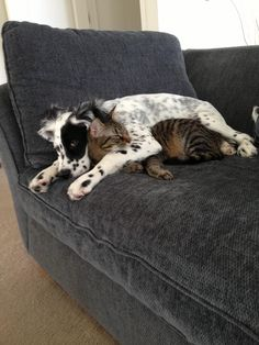 Cat and dog like snuggling.