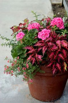 container garden with #angelonia flowers Pink Geranium with Coleus and Angelonia -