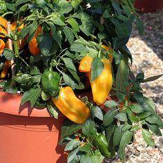F1 Mohawk - Pepper - Sweet | Vegetalis