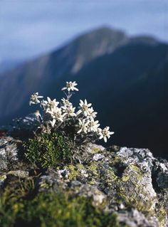 Edelweiss, Swiss Alps have you ever come across them? I did on a tour once! Small White Flowers, Wild Flowers, Beautiful Flowers, Beautiful World, Beautiful Places, Alpine Flowers, Edelweiss, Scenery, Around The Worlds