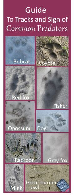 Here's a guide to poultry predator identification that covers tracks, scat, feeding sign, and other behavior, to help you identify threats to your chickens and other livestock. Poultry Predator Identification: A Guide to Tracks and Sign Think Too M Wilderness Survival, Camping Survival, Survival Prepping, Survival Skills, Camping Tips, Plan Vida, Predator Hunting, Animal Tracks, Hobby Farms