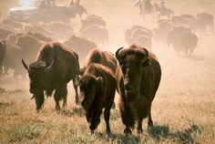 @Visit Rapid City  Rapid City Photo Gallery - The Annual Custer State Park Buffalo Roundup