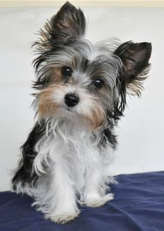 Will you play with me? Found at:http://bit.ly/2f8Engo   Found at: https://itsayorkielife.com/will-you-play-with-me-2/  #Yorkies,#YorkshireTerriers,#Yorkielove,#ItsaYorkieLife