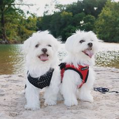 Anyone want to see us swimming? #maltese #maltipoo #teacupdogs #cutedogs #dogs #smalldogs