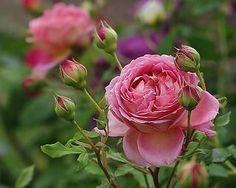 Rose Jubilee Celebration | by mamietherese1