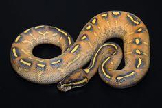 Highway (Gravel x Yellowbelly) Ball Python