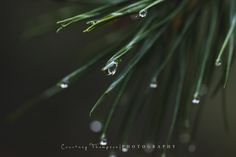 Macro pine tree/pine needles/water drops-Courtney Thompson Photography