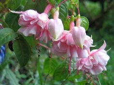 Fuchsia Natasha Sinton - I love fuchsias, especially the very frilly light pink ones - these are part of the trailing varieties.