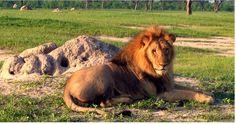 cecil lion images