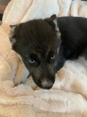 Gerbian Shepskys For Sale German Shepherd Dogs Siberian Husky