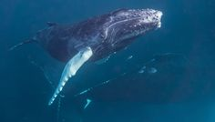 Caribbean Whale Hunter Turns Whale Watcher � Is the End in Sight for Whaling Everywhere?