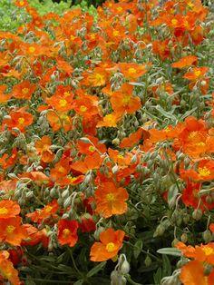 Helianthemum nummularium 'Henfield Brilliant' SUN ROSE View Plant | Great Plant Picks
