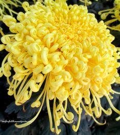 "Field Trip ~ Chrysanthemum Festival at Longwood Gardens     ""Golden Rain"""