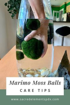 6 Tips for Marimo Moss Balls — Sacred Elements Marimo moss balls are actually a type of algae and make a great addition to your plant collection.