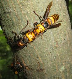 Measuring inches long with a wingspan up to inches, the Japanese giant hornet might appear to be a typical, if large, bee. But looks can be deceiving. This hornet ranks as Japan's most deadly animal, killing 40 people per year with its venomous sting. Deadly Animals, Dangerous Animals, Strange Animals, Vespa, Japanese Giant Hornet, Mark Antony, Wasp Nest, Bee Swarm, Fotografia Macro
